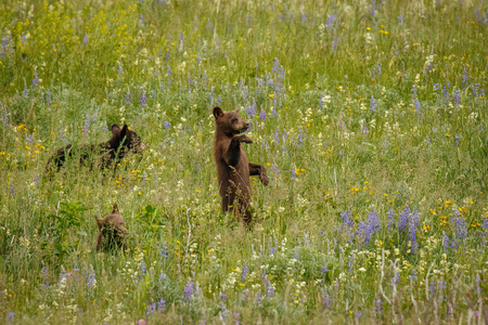 Little cubs discovering the world, Waterton Lakes NP