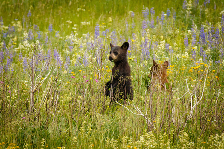 Two little grizzly cubs playing on blooming meadow, Waterton Lakes NP