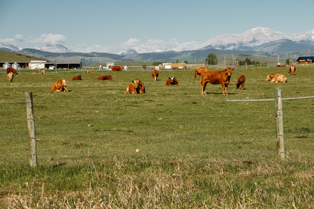 Grass fed cows in Southern Alberta, Canada