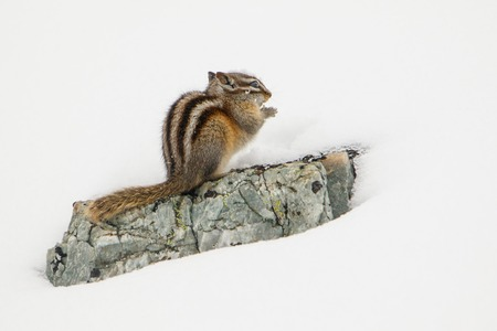 Even Chipmunk can tell - winter is coming Fresh snow in Banff national park. feeding for long canadian winter. natural behaviour of animals. Reklamní fotografie