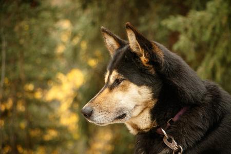 Dog for dog sledding in Denali NP in Alaska, alaskan kennel dog, portrait of malamut dog in Alaska