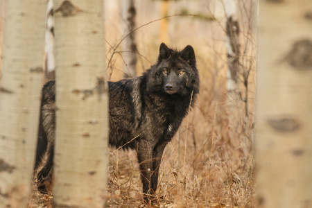 Old large black wolf hidden behind trees, Canada, wild looking animal, mother nature, fauna Reklamní fotografie