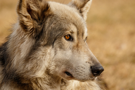 Low content wolf in Yamnuska sanctuary, Canada, turistic attraction in Cochrane, cute wolfdog, hard to deal with Reklamní fotografie
