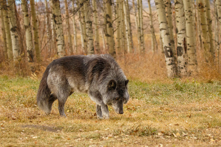 Large old grey wolf siffing around, Canada, unsocial wild animal, grumpy old guy, Yamnuska wolf sanctuary