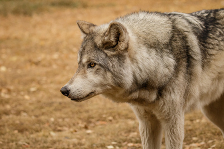Curiously Looking wolfdog in Yamnuska sanctuary, Canada, hard to train the high content wolfs, strong personality dog