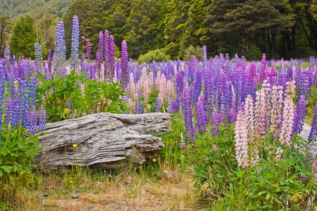 Beatiful colorful lupins blooming in New Zealand, tourism time, famous touristic place for flower viewing, milford sound area national park