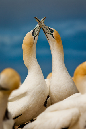 Birds love, mating season of gannets, Potrait of beautiful australasian gannet in Hastings, NZ, Kidnappers gannet reserve adventure, birdwatching in New Zealand