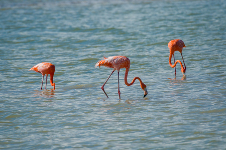 Flamingos in Rio Coloradas on the north of Mexico Reklamní fotografie