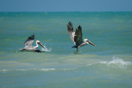 Two pelicans flying above the Carribean sea in Mexico, exotic vacation, birdwatchers paradise, wildlife of seashore of Yucatan