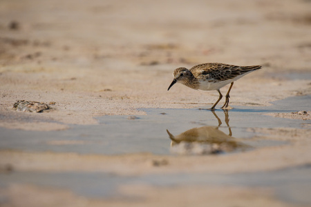 Sandpiper bird in Las Coloradas in Mexico, reflection of sea bird, birdwatching in Mexico
