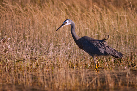 White Faced Heron in grassy swamp in New Zealand Reklamní fotografie