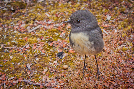 South Island Robin in Nelson lakes National park in NZ, birds of New Zealand, birdwatching