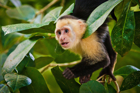 White faced capuchin in national park in Central America, costarican monkeys, courious look, courious monkey in Manuel Antonio NP