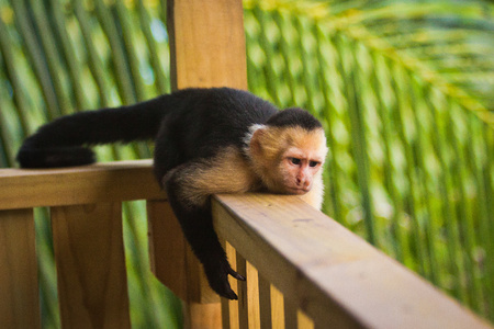 Grumpy monkey - White-faced capuchin lying on handrail, costarican monkeys, sad monkey, lazy life, time to think about the life, time for yourself, time to relax, contemplation, time ti lie down, relax time Reklamní fotografie
