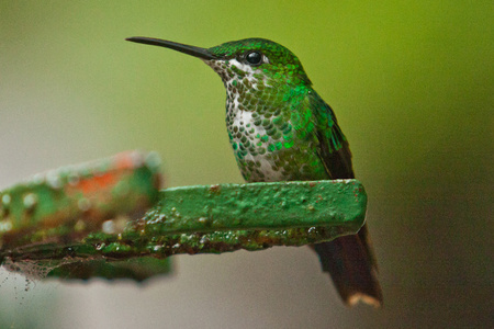 Beautiful Hummingbird as common bird of Central America rainforest, costarican birds, birdwatching, natural beauty