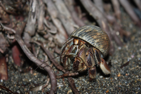 Hermit Crab on the coast of exotic Costarica