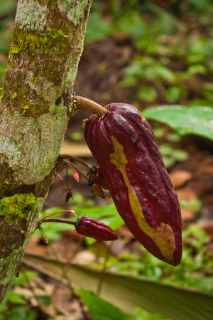 Cacao tree with fresh cacao beans in Costarican coast