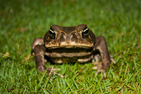 Toad as nocturnal animal in Corcovado national park, Costarica