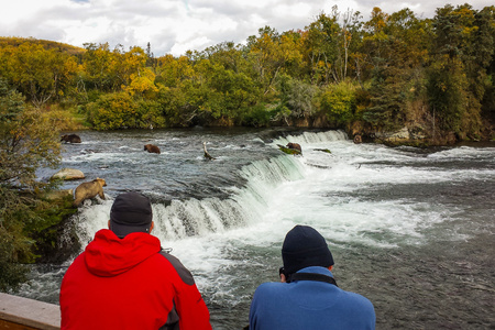 Two people watching five bears on Brooks falls in Alaska, alaskan adventure in Katmai natinal park Reklamní fotografie
