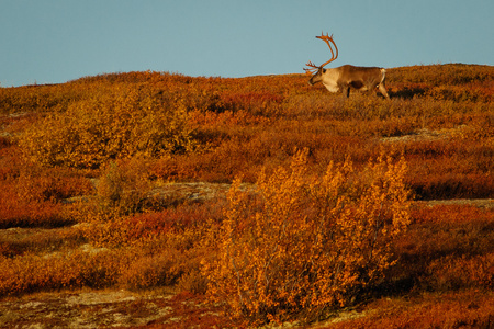 Big caribou male in Denali national park in fall season, Alaska, popular tourist destination for wildlife watching, travelers place number one in far north, alaskan nature in autumn colors