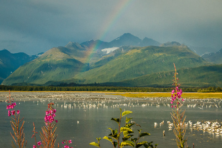 Rainbow over lake with seagulls and fireweed in Valdez, Alaska, salmon run season in Alaska Reklamní fotografie