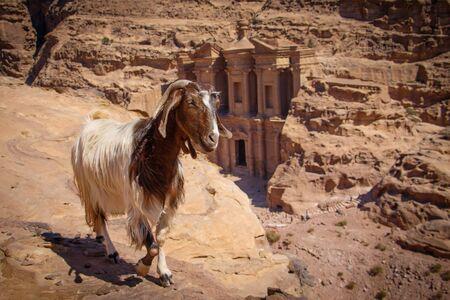 Goat on the viewpoint of Monastery in Petra city in Jordan, Beduin old tresure, historic landmark UNESCO, famous jordan monument Reklamní fotografie