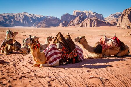 Camels resting in Wadi Rum dessert in Jordan, sandstone background of dry dessert, dessert hard life