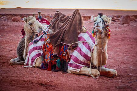 Jordanian camels in Wadi Rum dessert, colorful clothing of camels in Jordan