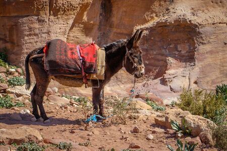 Little donkey in Jordan watching tourists in popular place of Petra