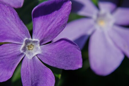Bloom of pastel purple periwinkle in spring time nature, garden flowers, wild remedial plants, natural healing