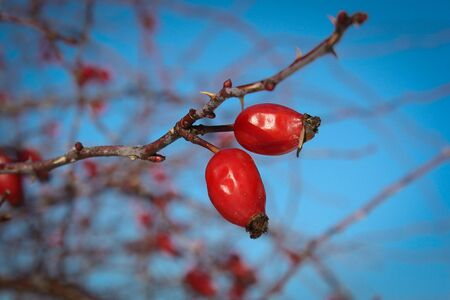 Ripe rosehip tree as amazing healthy remendy, lots of vitamin C, rosehip fruit on blue sky background, natural healing