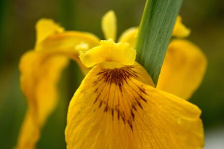 Yellow Iris as one of the first spring time flowers, iris for yellow background