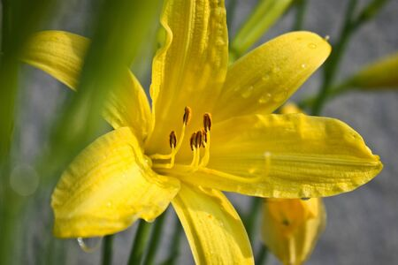 Yellow lily as spring time flower symbol, spring garden flowers, yellow background