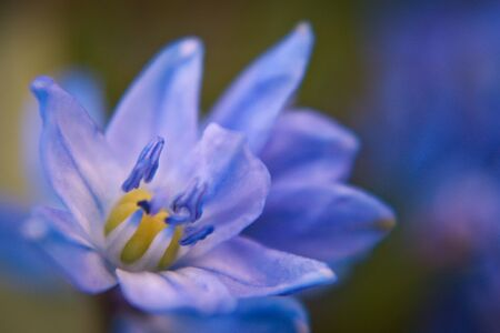 Scilla is one of the most popular european spring bloom, natiral spring floric beauty