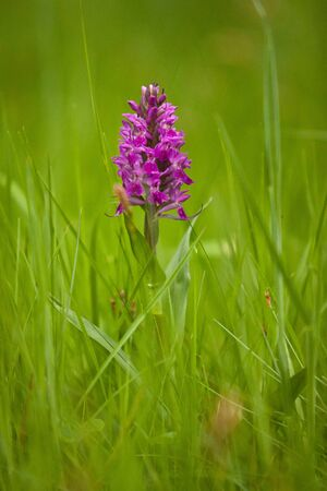 Rare European spring flower of Orchis mascula, lost in the grass, fresh green meadow bloom