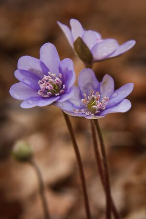 Beauty of Hepatica Nobilis in Early Springtime Forest Colours, first blooms of the year, wildlife flora,