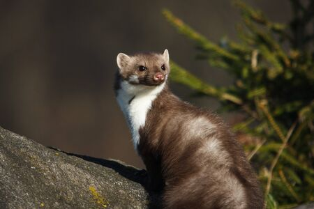 European pine marten sittin on a rock enjoying sunshine, wild forest mamal, animal wildlife lovers