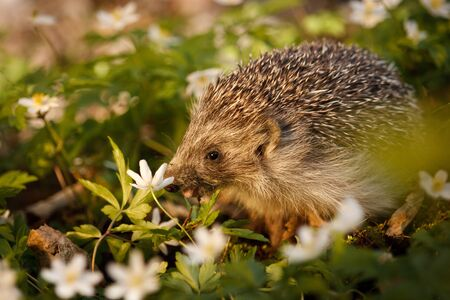 Little hedgehog in white blooms of Wood Anemone, European wild mamals of forest, animal lover