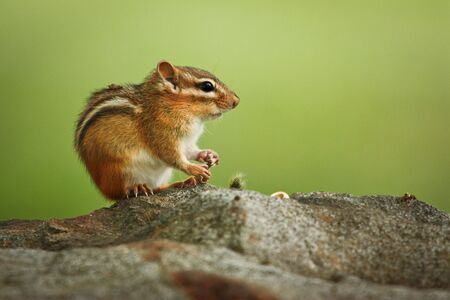 Fearless Chipmunk Sitting on Stone, Cute little chipmunk sitting on a rock with green background, mammals of North America