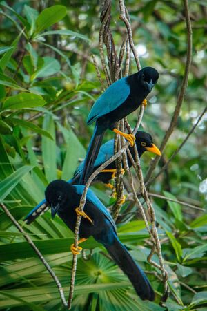 Yucatan jay sitting in bushes on the costal area of Mexico, birdwantchin in Mexico