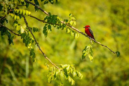 Vermilion flycatcher in mexican Puerto Escondido, birds paradise in Mexico, north american birding