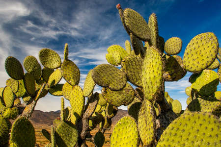 Edible opuntia cactus growing in warm parts of our planet, Mexican healthy delicatesy, opuntia as typical Tenerife plant, natural food Reklamní fotografie