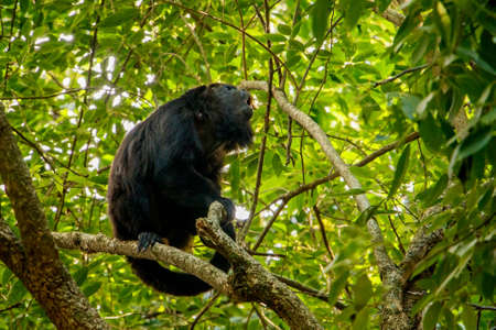 Young male of howler monkey, mexican fauna, animal world, nature magic