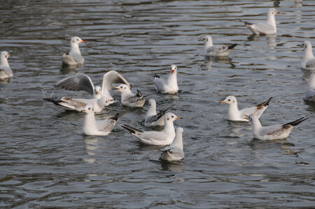 wingspread: Flock of seagulls swimming in the water