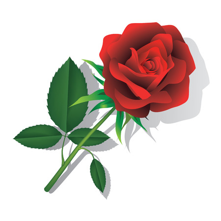 freshens: Red rose isolated on white background.  Vector illustration.