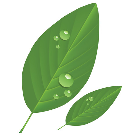 reflection of life: Leaves with drops isolated on a white background. Vector illustration