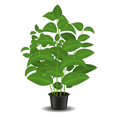 Plant in flower pot isolated on a white background. Vector illustration Çizim