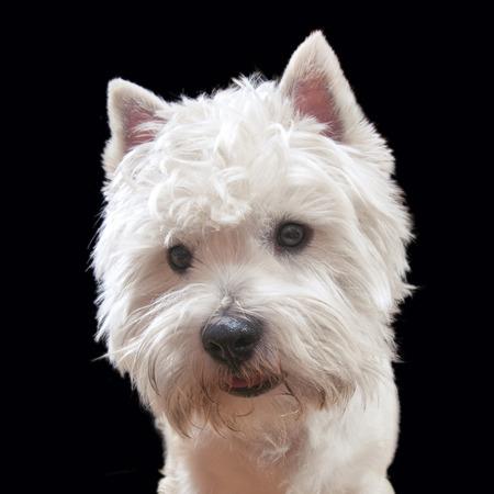 cute westie: Portrait of a West Highland White Terrier (westie, Westy)