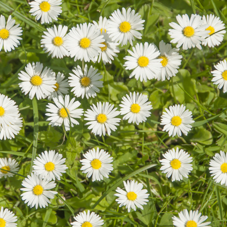 daisy flower: Daisy flowers and green grass, top view