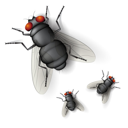 Insect fly isolated on white background. Vector illustration. Ilustracja